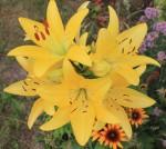 lilie zluta