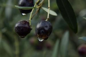 zrale olivy