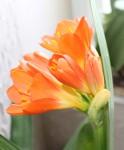 kvetouci klivie