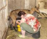 dojeni kozy