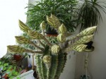 kaktus s kvety