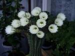 kaktus rozkvetly