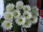 kaktus v plnem kvetu