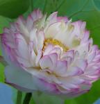 lotos Dajin