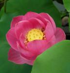 lotos Youyidanlian