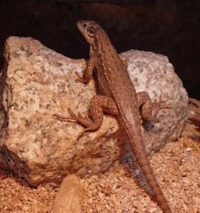 Leiocephalus carinatus