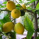 citrusy nahled