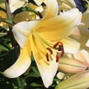 lilie nahled