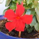 mandevila kvet