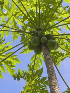 papaja rostlina