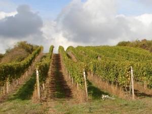 vinex vinohrad