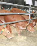 vystava kravy