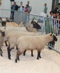 vystava ovce