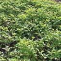 zelene hnojivo