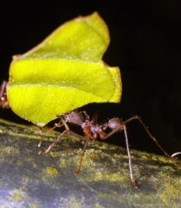 Atta mravenec