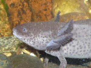 Axolotl mexicky