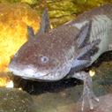 axolotl nahled