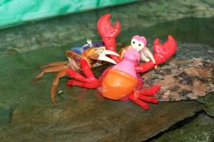 krab v akvariu