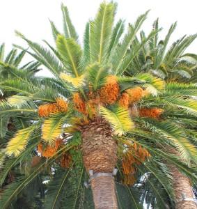 kvetouci palma
