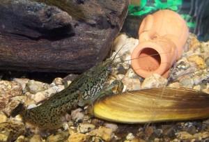 rak v akvariu