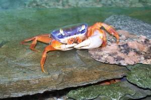 sladkovodni krab