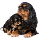 6c9cc9be584 Kavalír King Charles Španěl-malý psík s velkou duší