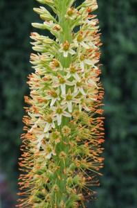 liliochvostec kvet