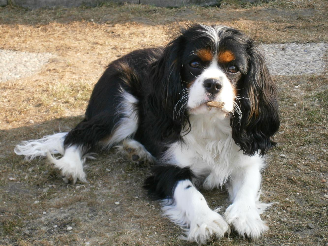 d8b4d4de9b3 Kavalír King Charles Španěl-malý psík s velkou duší – Príma receptář.cz