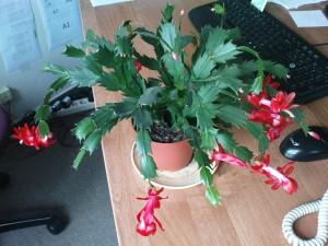 vanocni kaktus kvetouci