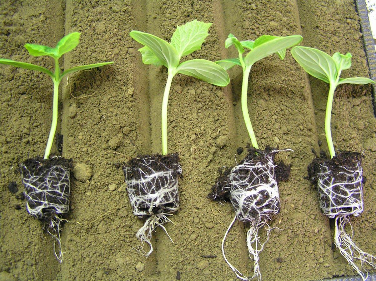 Гортензия из семян: выращивание, как посадить 41