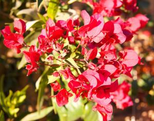 Bougainvillea cervena