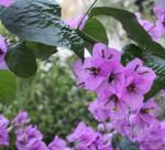 Bugenvilea fialova