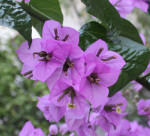 Bugenvilea kvet