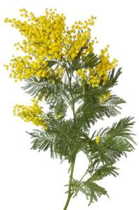 akacie Acacia dealbata