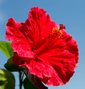 ibisek kvet