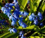modre kvety ladonka