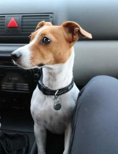 pes nespravne v aute