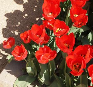 tulipan slider