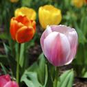 tulipan nahled