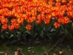 zahon tulipanu