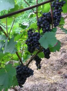 Vinná réva hnojení