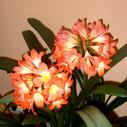 kvetouci klivie nahled