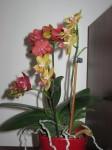 kvetouci orchidej