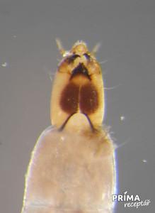 larva pakomara
