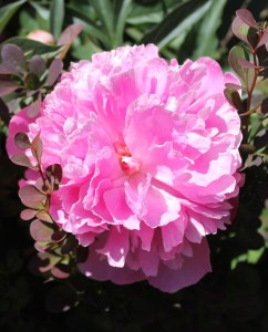 pivonky kvet