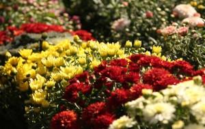 chryzantemy na flore olomouc