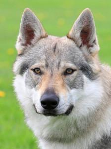 ceskoslovensky vlcak pes