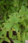 hortenzie latnata listy