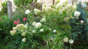 botanicke hortenzie