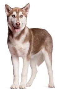 hnedy sibirsky husky